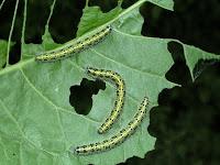 White Butterfly Caterpillars